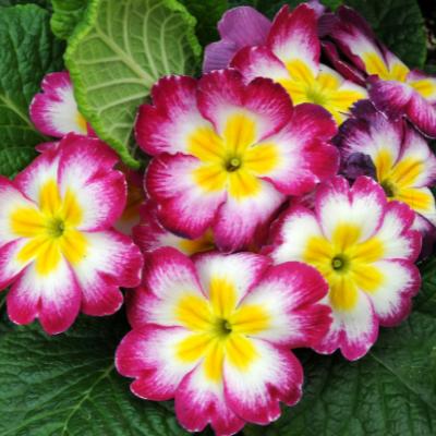 Fleurs Primevères - Bazile Telecom