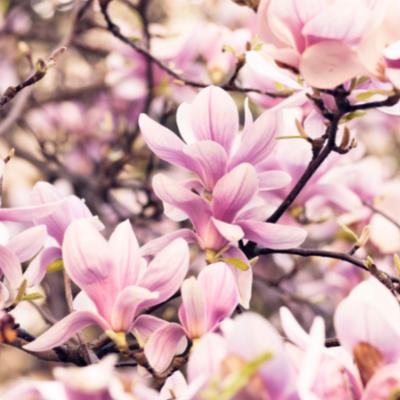 Magnolias - Bazile Telecom